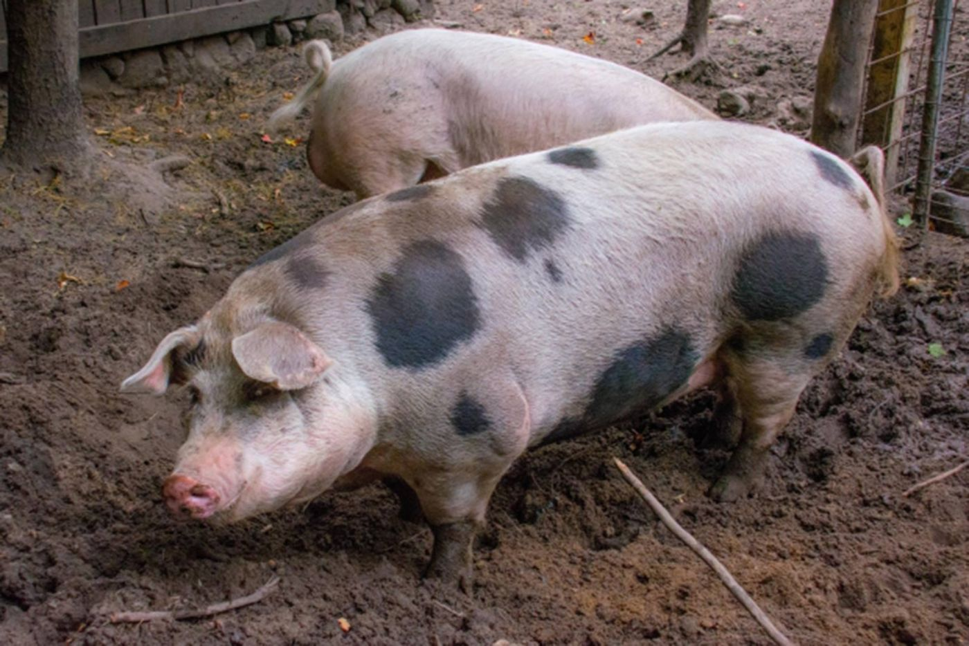 Morgue-file-sow-and-piglet