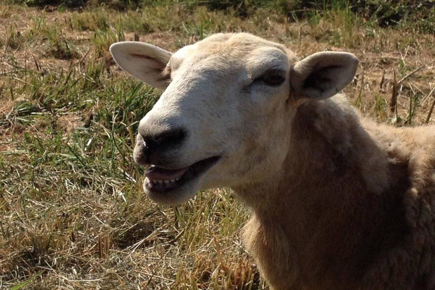 Morguefile-sheep