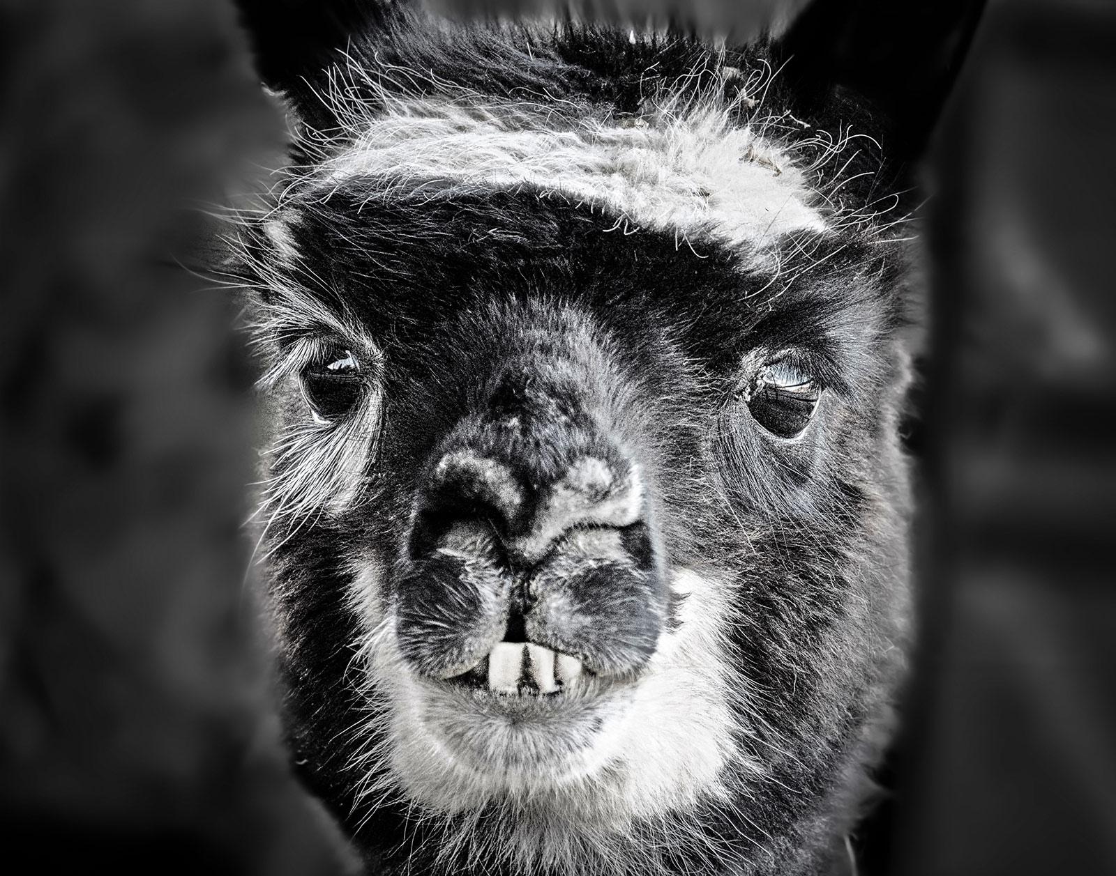 Portrait--Llama--Daisy-Mae